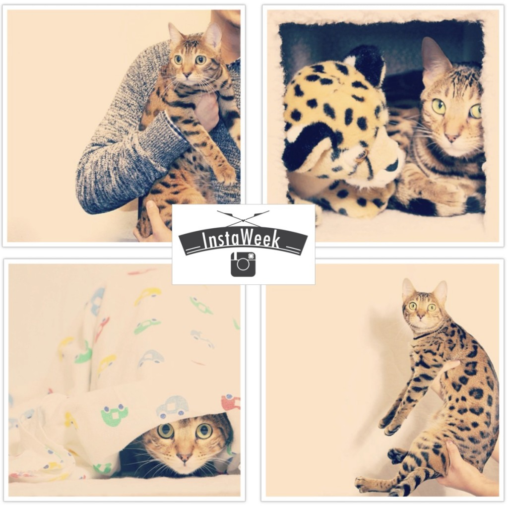 InstaWeek #1: Lucy The Bengal Cat