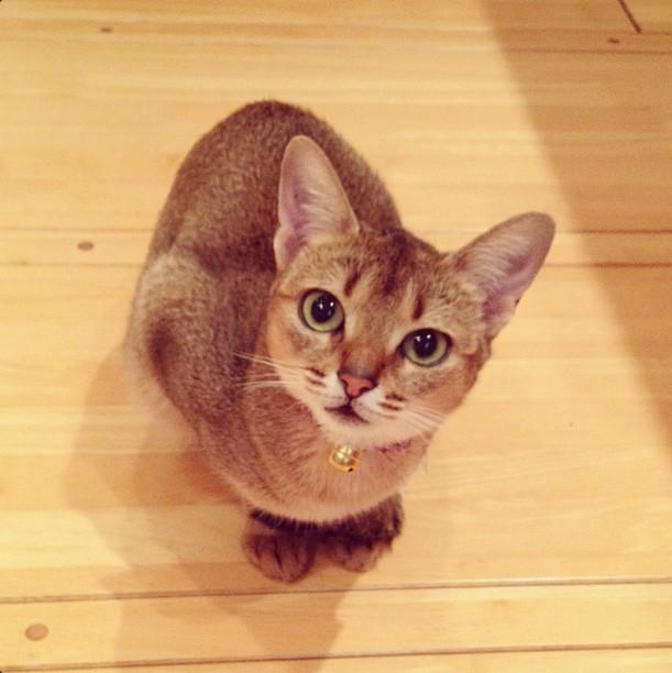InstaWeek #3: Chibi, l'abyssin japonais